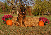 Alsatian Framed Prints - Hoss in Autumn II Framed Print by Sandy Keeton