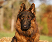 Alsatian Photos - Hoss in Autumn by Sandy Keeton