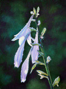 Sunlit Paintings - Hosta Dew by Kathy Dolan