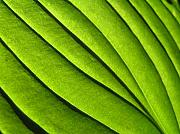 Backlit Framed Prints - Hosta Leaf 2 Framed Print by Dustin K Ryan