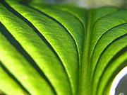 Backlit Framed Prints - Hosta Leaf 3 Framed Print by Dustin K Ryan