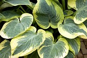Snow Cap Photos - Hosta snow Cap by Adrian Thomas