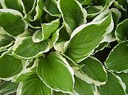 Anna Villarreal Garbis Photo Metal Prints - Hostas 1 Metal Print by Anna Villarreal Garbis