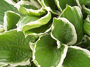 Anna Villarreal Garbis Photo Metal Prints - Hostas 2 Metal Print by Anna Villarreal Garbis