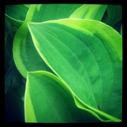 Christy Bruna Art - Hostas Leaves by Christy Bruna