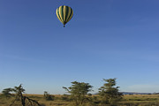 Baloon Framed Prints - Hot Air Baloon Floats High Over Serengeti Framed Print by Darcy Michaelchuk