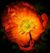 Brightly Lit Posters - Hot Orange Poppy Poster by Jill Ferry