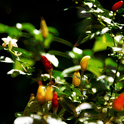 Hot Pepper Framed Prints - Hot Pepper Framed Print by Simone Hester