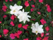 Gardenias Photos - Hot Pink and White by Marlene Robbins