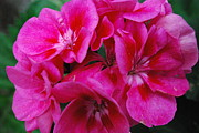 Hot Pink Geranium Print by Sharen Duffing