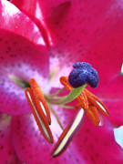 Able Posters - Hot Pink Lilly Up Close Poster by Kym Backland