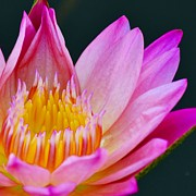 Waterlily Prints - Hot Pink Lily Print by Melanie Moraga
