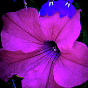Lobelia Posters - Hot Pink Petunia Poster by David Patterson