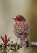 Red Finch Originals - House Finch by Adrienne Smith
