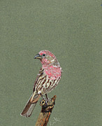Barb Kirpluk - House Finch