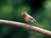 Backyard Birds Prints - House Finch Bird . 40D7316 Print by Wingsdomain Art and Photography