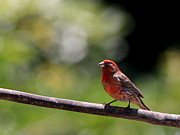 Backyard Birds Prints - House Finch Bird . 40D7605 Print by Wingsdomain Art and Photography