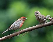 Wingsdomain Art and Photography - House Finch Courtship