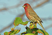 Carpodacus Mexicanus Photo Posters - House Finch Poster by David Freuthal