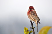 Feeding Birds Photo Prints - House Finch in Autumn Rain Print by Laura Mountainspring