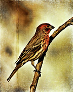 House Finch Photos - House Finch by Lana Trussell