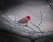 J Finch Art - House Finch Looking Pretty by J Larry Walker
