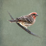 Sparrow Prints - House Finch on Green Print by Betty LaRue