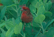 Plants From My Garden - House Finch on Sedum by Tom Wurl