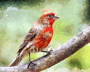 Perch Digital Art - House Finch Perched . 40D7930 by Wingsdomain Art and Photography