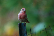 Carpodacus Mexicanus Photo Posters - House Finch Poster by Perry Van Munster