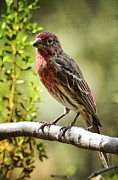 House Finch Photos - House Finch  by Saija  Lehtonen