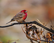 J Finch Art - House Finch Sitting Pretty by J Larry Walker