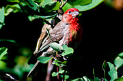 House Finch Photos - House Finch by Terry Elniski