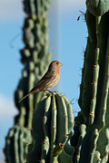 Carpodacus Mexicanus Photo Posters - House Finch Poster by Tracey Hunnewell