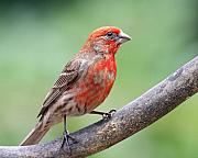 Small Bird Framed Prints - House Finch Framed Print by Wingsdomain Art and Photography