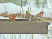 Carpodacus Mexicanus Photo Posters - House Finches - Carpodacus mexicanus Poster by Carol Senske