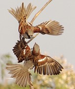 Action Pyrography - House sparrow by Neeraj Vegad