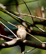 House Wren Print by Mitch Shindelbower