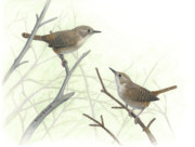 Habitat Drawings Posters - House Wrens Poster by Kalen Malueg