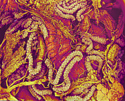 Gut Prints - Hover Fly Gut, Sem Print by Susumu Nishinaga