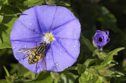 Mauve Art - Hoverfly and Blue Rock Bindweed Convolvulus sabatius by Matthias Hauser