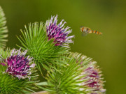 Insects Photo Originals - Hovering Around by Gary Maynard