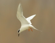 Tern Metal Prints - Hovering Tern Metal Print by Robert Frederick