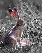 Hare Photo Posters - How About Two Out of Three . Desaturated in Portrait Poster by Wingsdomain Art and Photography