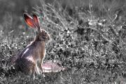 Hare Digital Art Prints - How About Two Out of Three . Desaturated Print by Wingsdomain Art and Photography