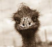 Ostrich Photos - How Do You Do by Douglas Barnett