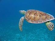 Green Sea Turtle Photos - How Green It Is by Kimberly Mohlenhoff