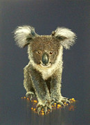 Koala Pastels Posters - How Much Can a Koala Bare Poster by Janice Mills