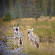 Howl Prints - Howling Coyotes Canis Latrans Canmore Print by Richard Wear