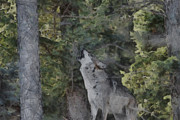 Endangered Wolves Prints - Howling Wolf Painterly Print by Ernie Echols